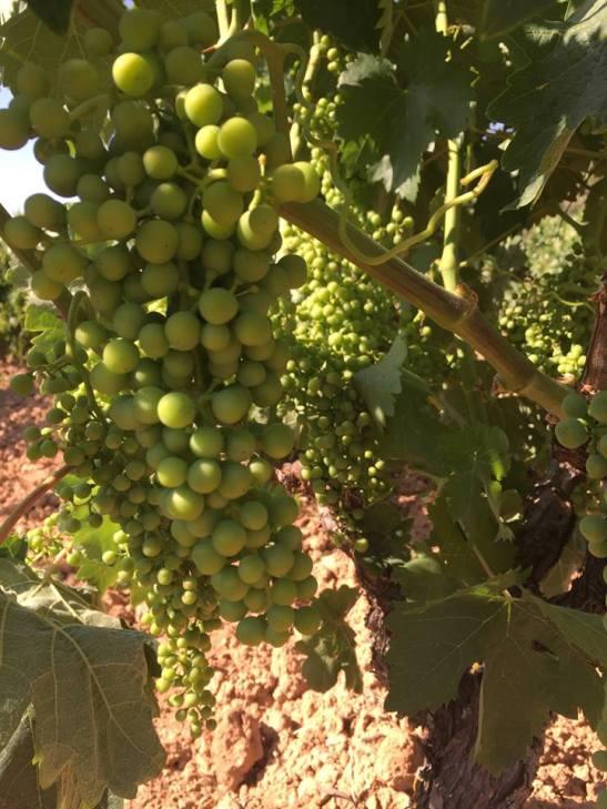 Grapes in the Val Sotillo field